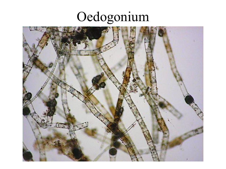 Oedogonium