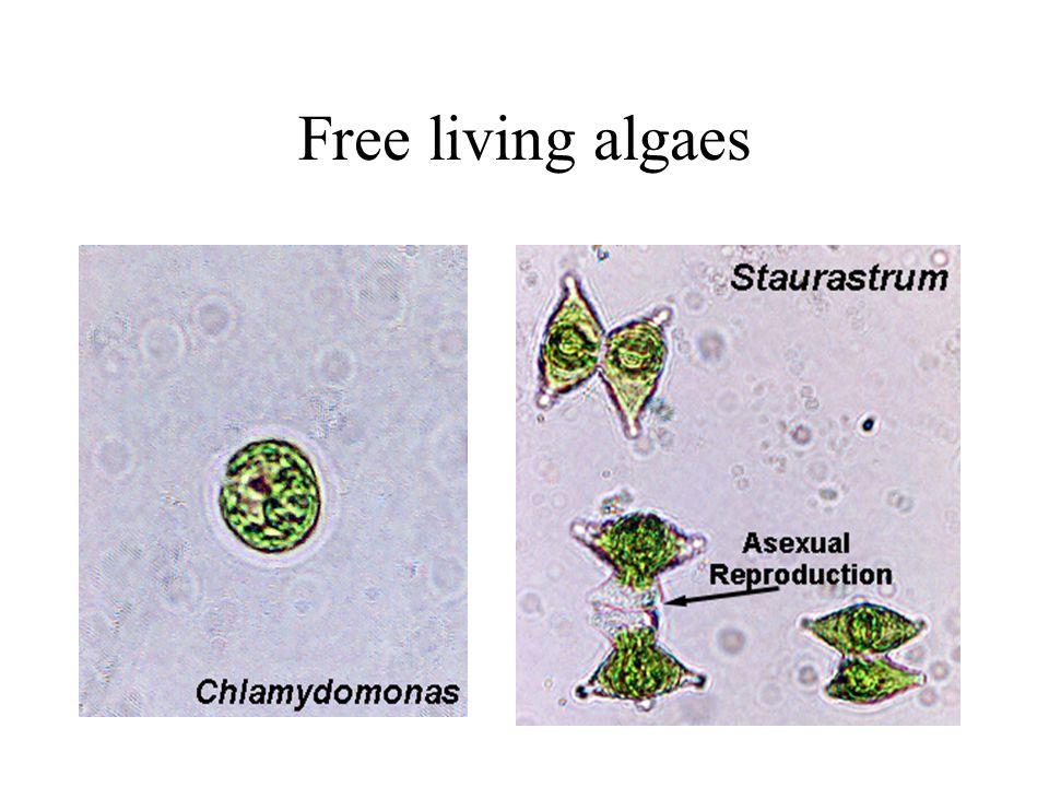 Free living algaes
