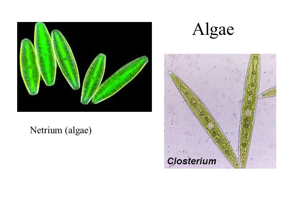 Algae Netrium (algae)