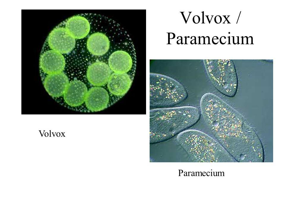 Volvox / Paramecium Volvox Paramecium