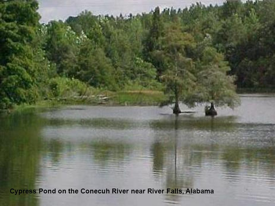 Cypress Pond on the Conecuh River near River Falls, Alabama