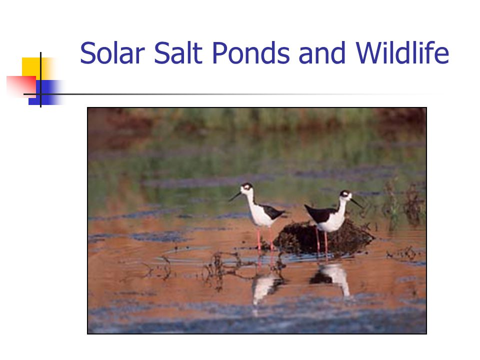 Solar Salt Ponds and Wildlife