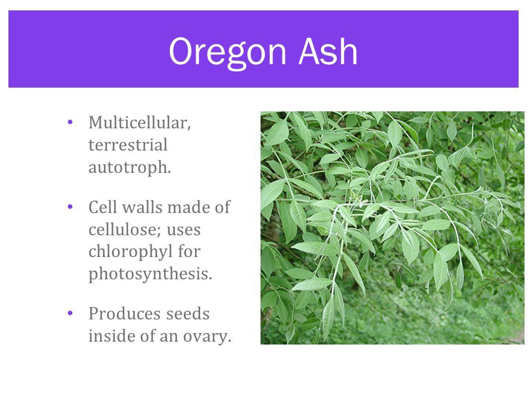 Oregon Ash Multicellular, terrestrial autotroph.