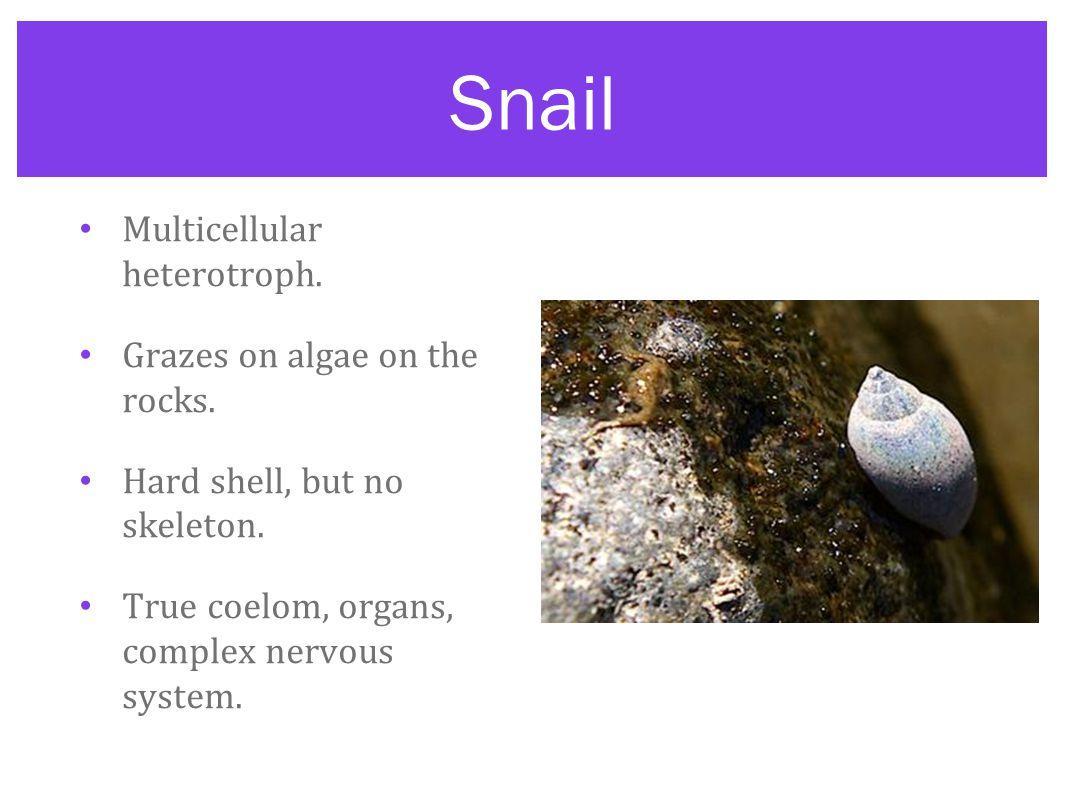 Snail Multicellular heterotroph. Grazes on algae on the rocks.