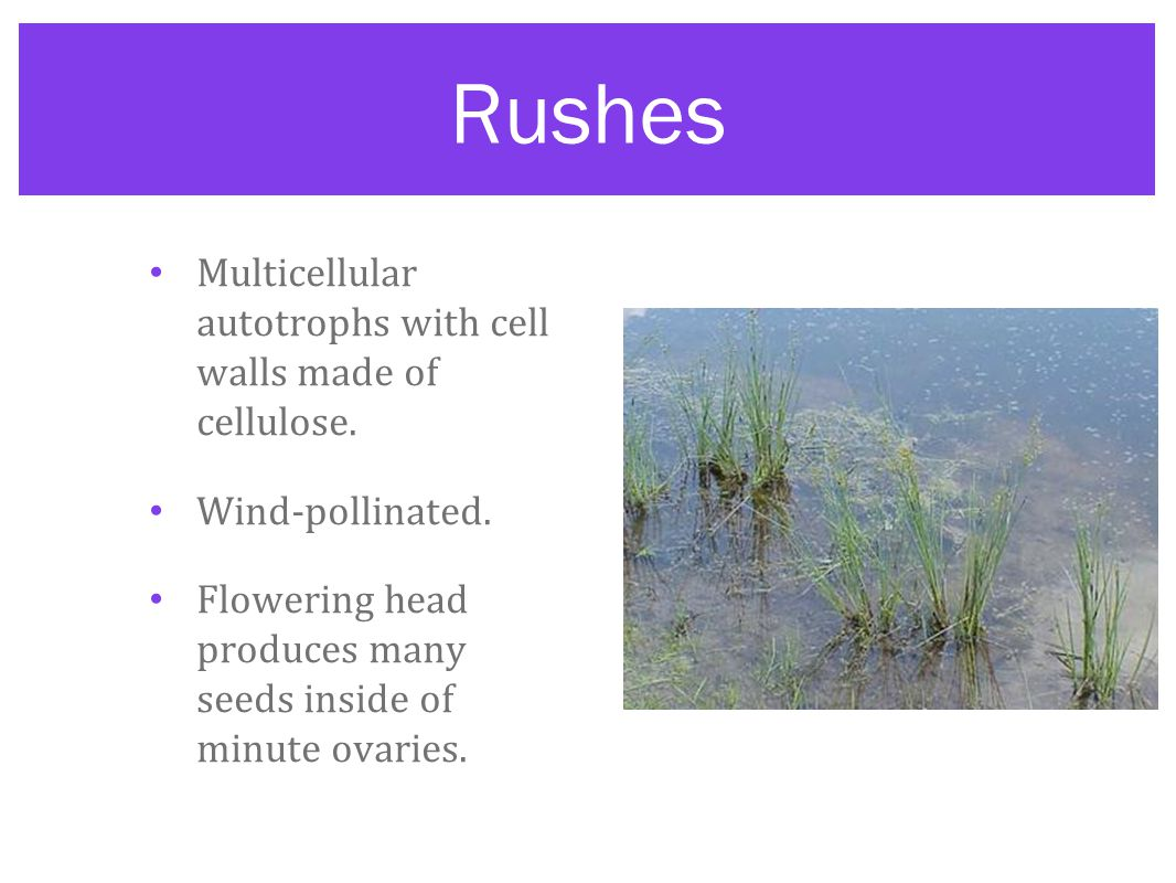 Rushes Multicellular autotrophs with cell walls made of cellulose.