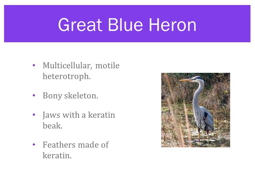 Great Blue Heron Multicellular, motile heterotroph. Bony skeleton.