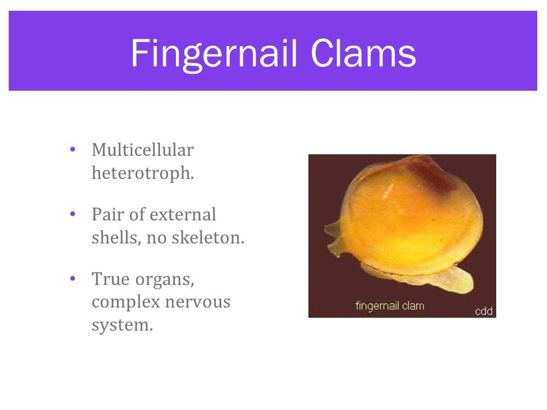 Fingernail Clams Multicellular heterotroph.