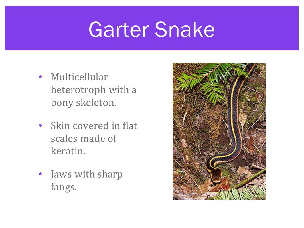 Garter Snake Multicellular heterotroph with a bony skeleton.