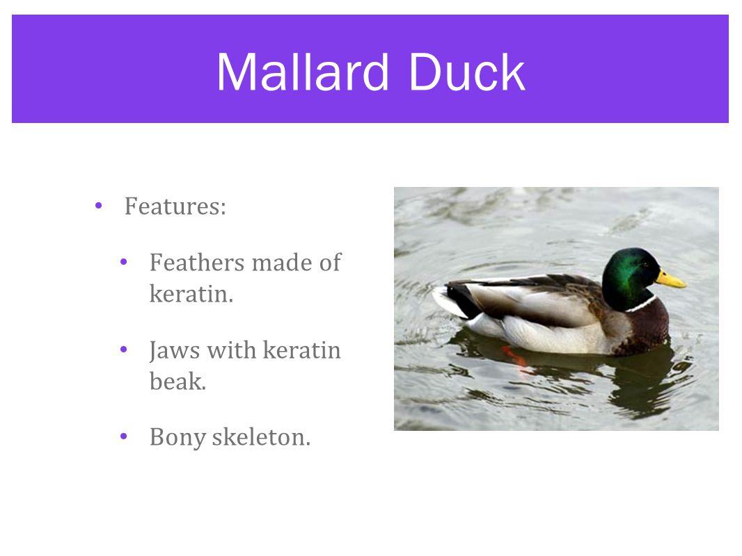 Mallard Duck Features: Feathers made of keratin.