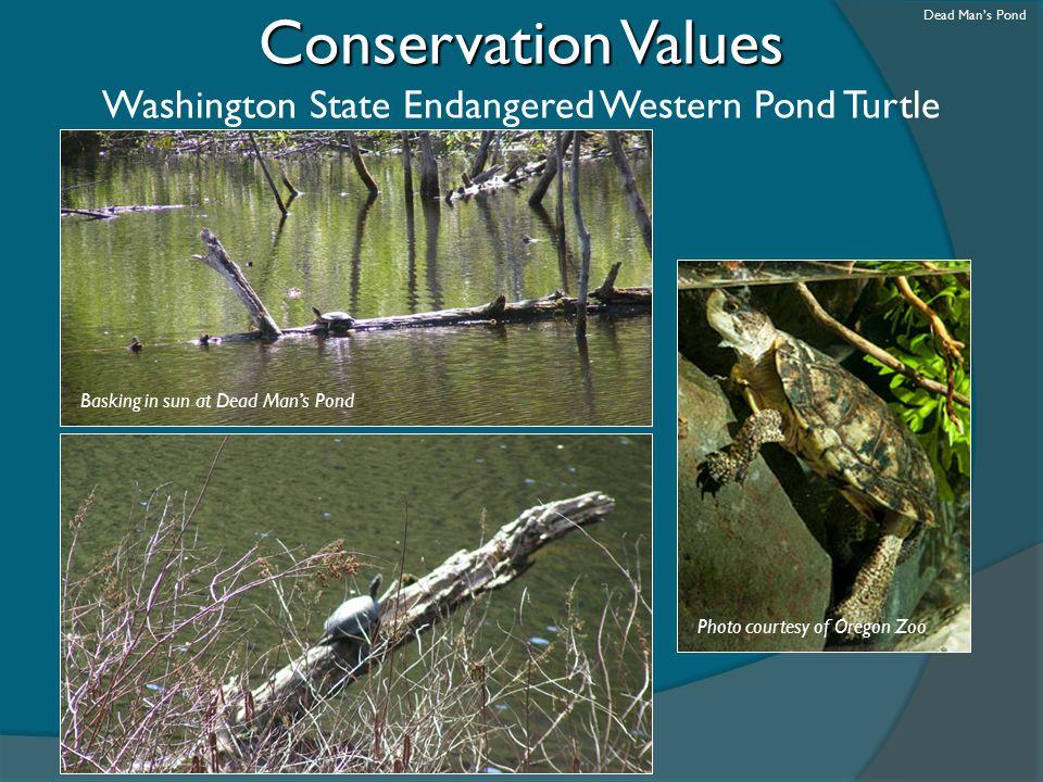 Washington State Endangered Western Pond Turtle