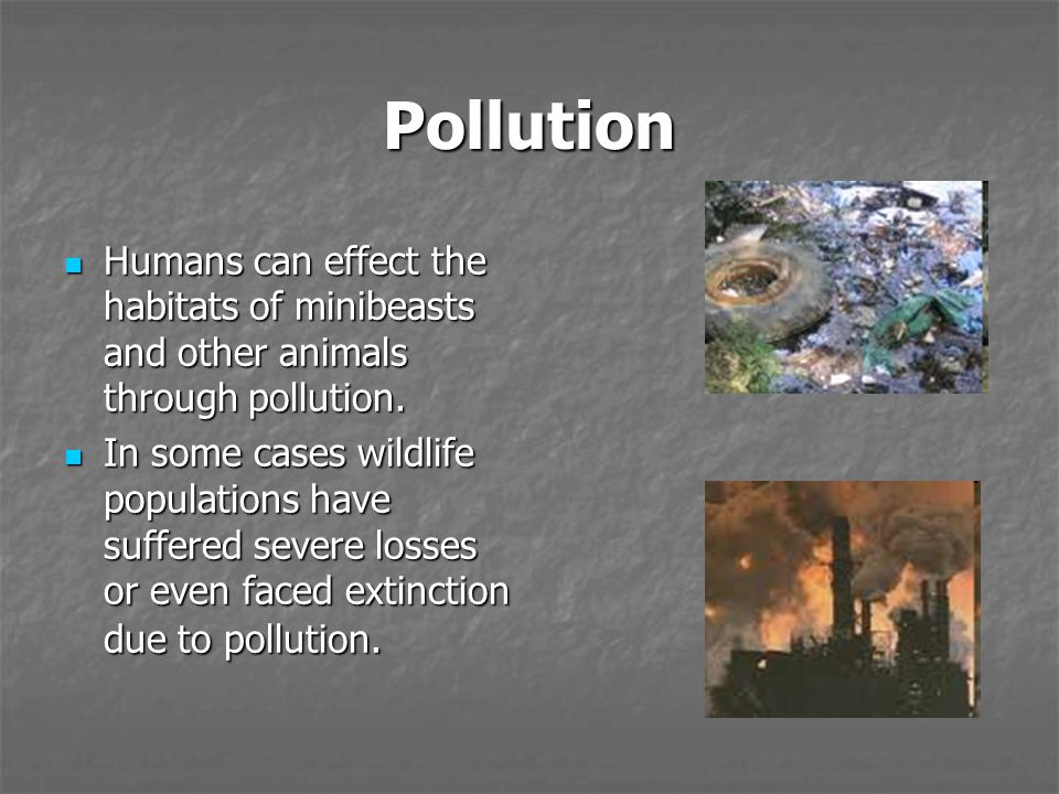 Pollution Humans can effect the habitats of minibeasts and other animals through pollution.