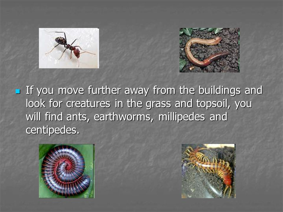 If you move further away from the buildings and look for creatures in the grass and topsoil, you will find ants, earthworms, millipedes and centipedes.