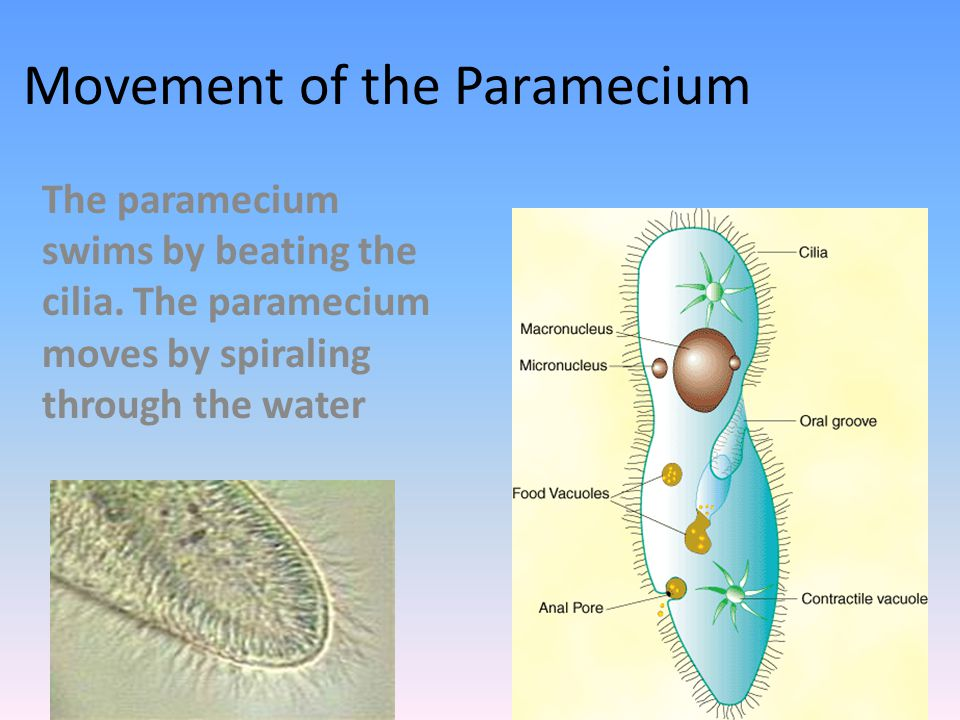 Movement of the Paramecium