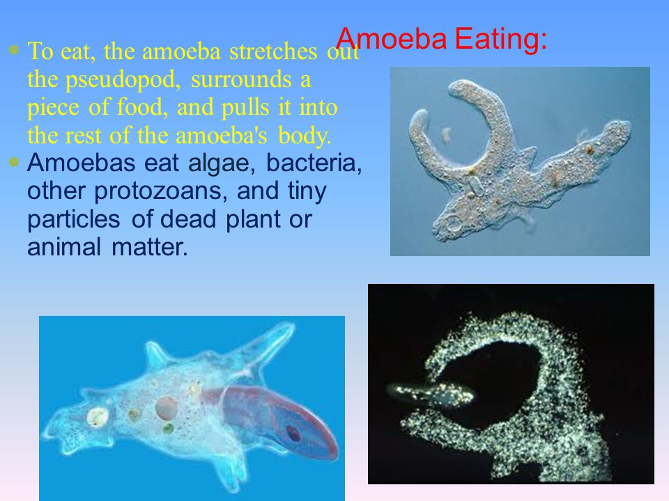 Amoeba Eating: To eat, the amoeba stretches out the pseudopod, surrounds a piece of food, and pulls it into the rest of the amoeba s body.