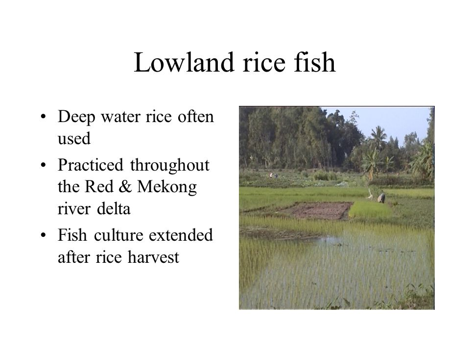 Lowland rice fish Deep water rice often used