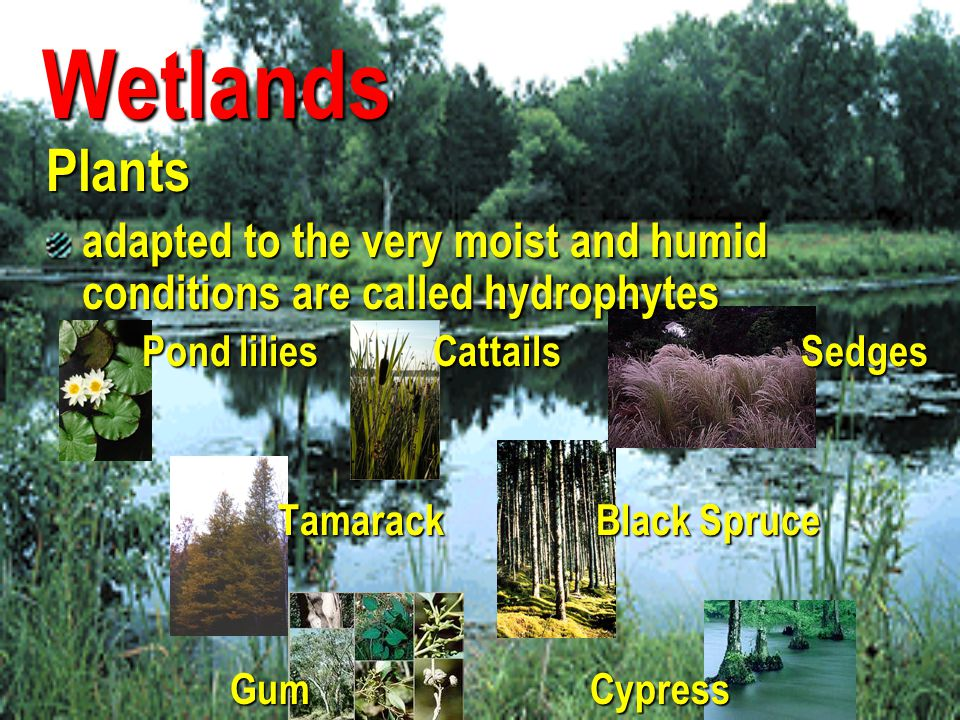 Wetlands. Plants. adapted to the very moist and humid conditions are called hydrophytes.