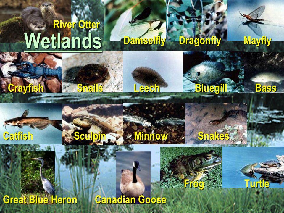 Wetlands River Otter Damselfly Dragonfly Mayfly