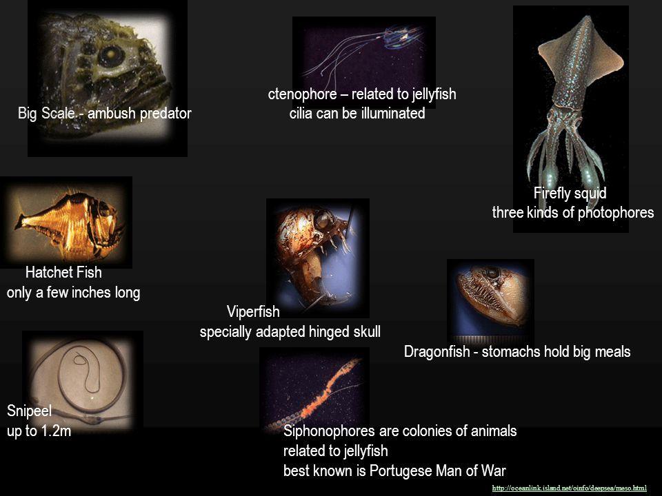 ctenophore – related to jellyfish