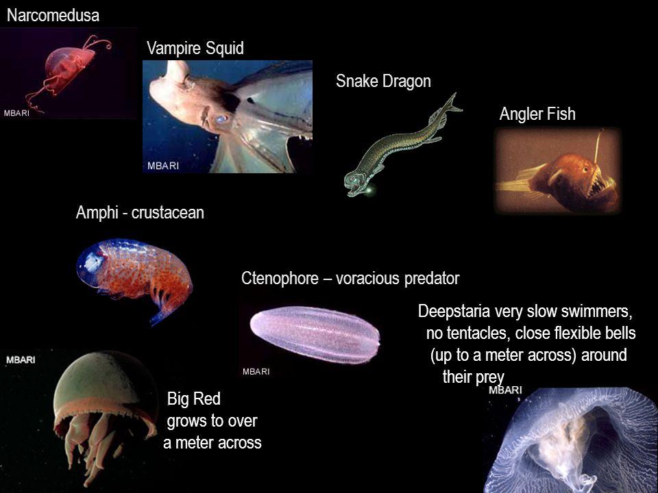 Narcomedusa Vampire Squid. Snake Dragon. Angler Fish. Amphi - crustacean. Ctenophore – voracious predator.