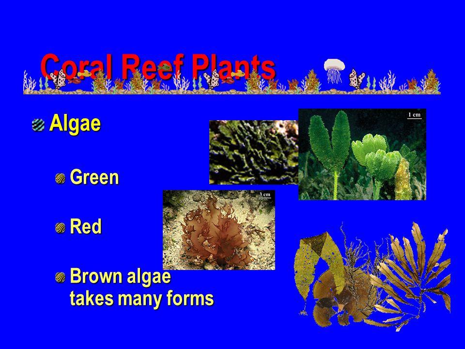 Coral Reef Plants Algae Green Red Brown algae takes many forms