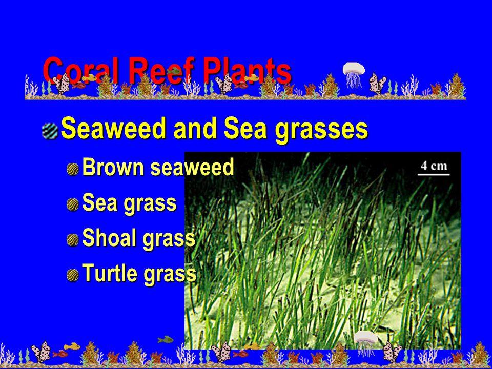 Coral Reef Plants Seaweed and Sea grasses Brown seaweed Sea grass