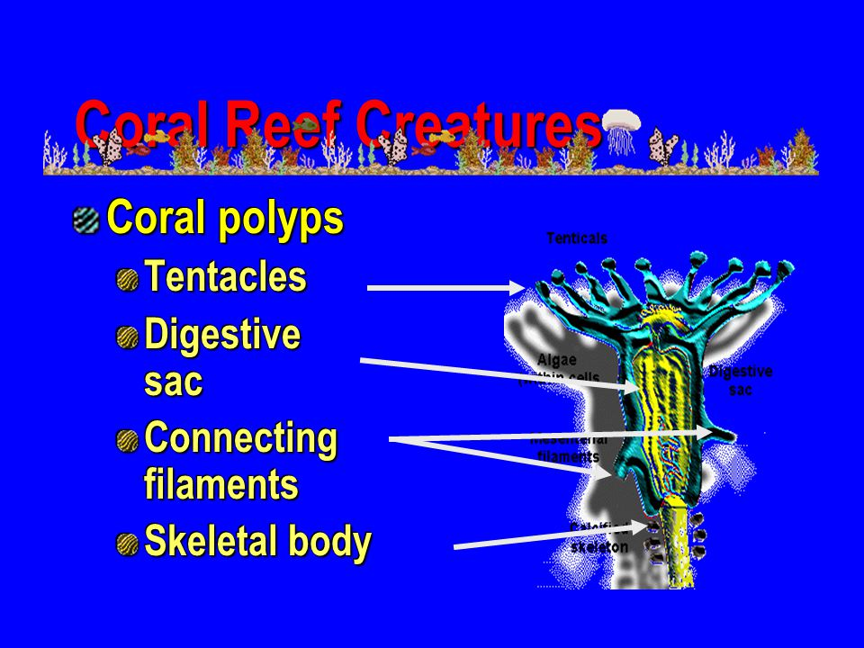 Coral Reef Creatures Coral polyps Tentacles Digestive sac