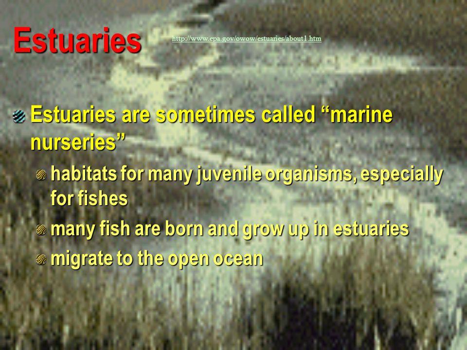 Estuaries Estuaries are sometimes called marine nurseries