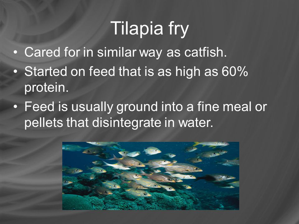 Tilapia fry Cared for in similar way as catfish.