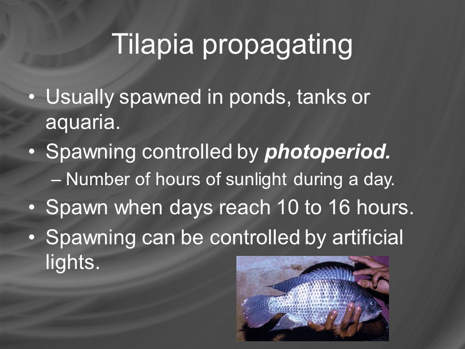 Tilapia propagating Usually spawned in ponds, tanks or aquaria.