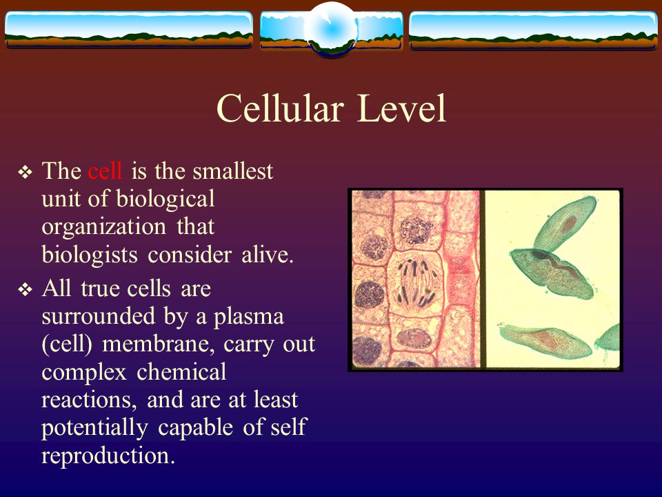 Cellular Level The cell is the smallest unit of biological organization that biologists consider alive.