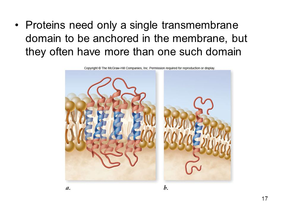 Proteins need only a single transmembrane domain to be anchored in the membrane, but they often have more than one such domain