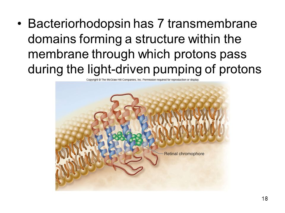 Bacteriorhodopsin has 7 transmembrane domains forming a structure within the membrane through which protons pass during the light-driven pumping of protons