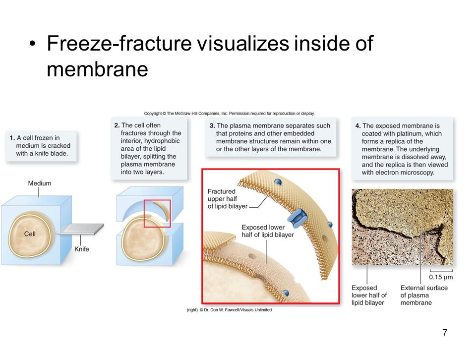 Freeze-fracture visualizes inside of membrane