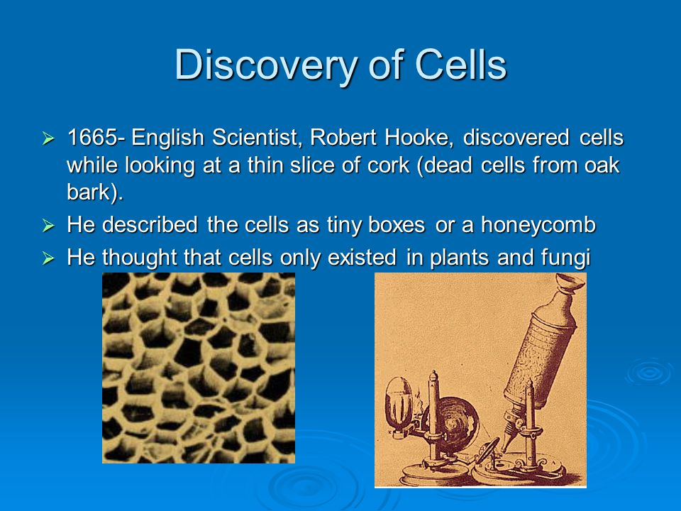 Discovery of Cells 1665- English Scientist, Robert Hooke, discovered cells while looking at a thin slice of cork (dead cells from oak bark).
