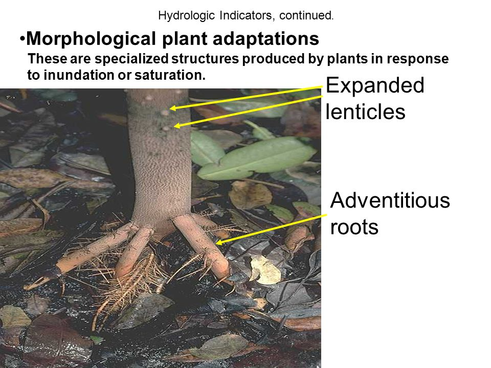 Expanded lenticles Adventitious roots Morphological plant adaptations