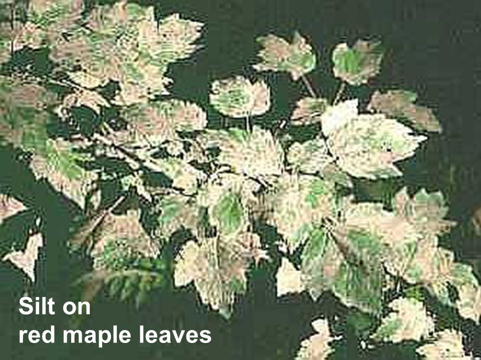 Silt on red maple leaves