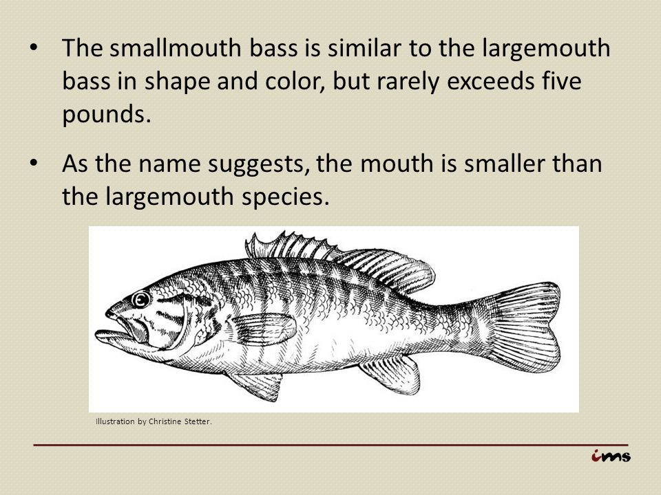 The smallmouth bass is similar to the largemouth bass in shape and color, but rarely exceeds five pounds.