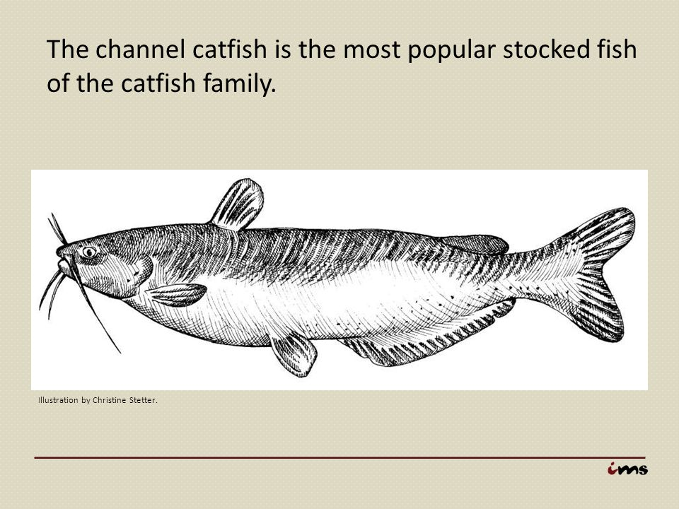 The channel catfish is the most popular stocked fish of the catfish family.