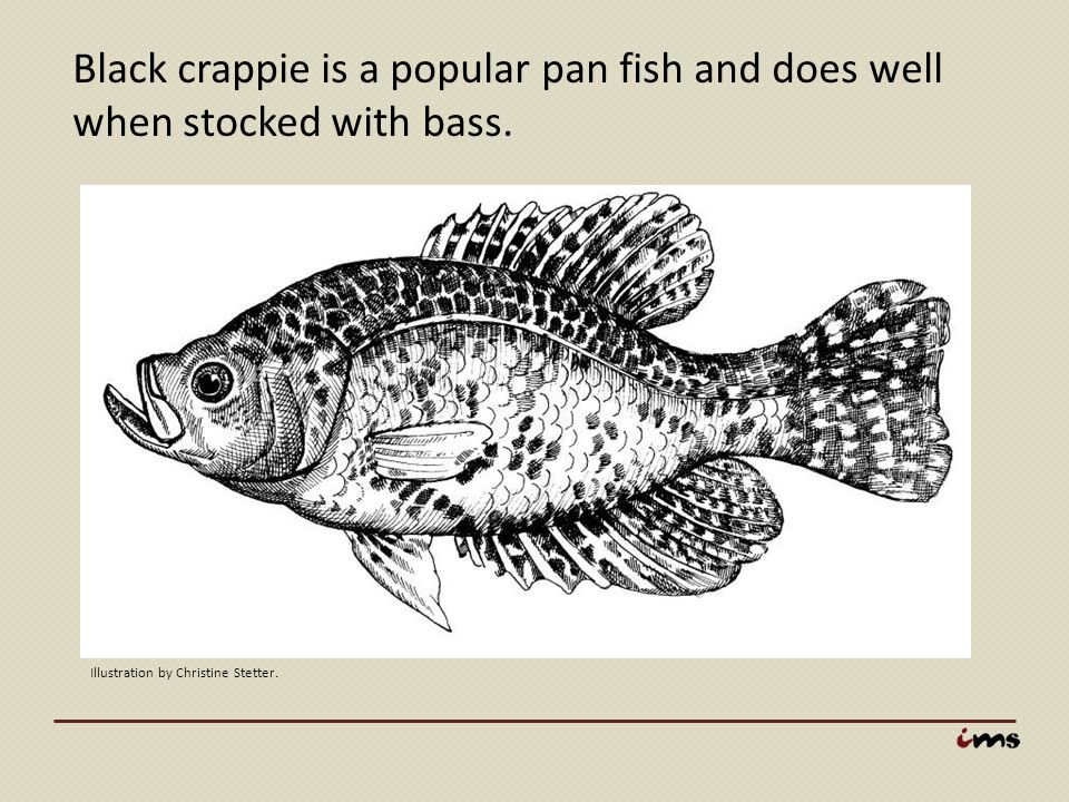 Black crappie is a popular pan fish and does well when stocked with bass.