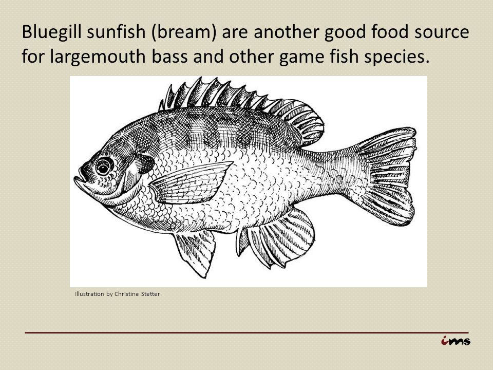 Bluegill sunfish (bream) are another good food source for largemouth bass and other game fish species.
