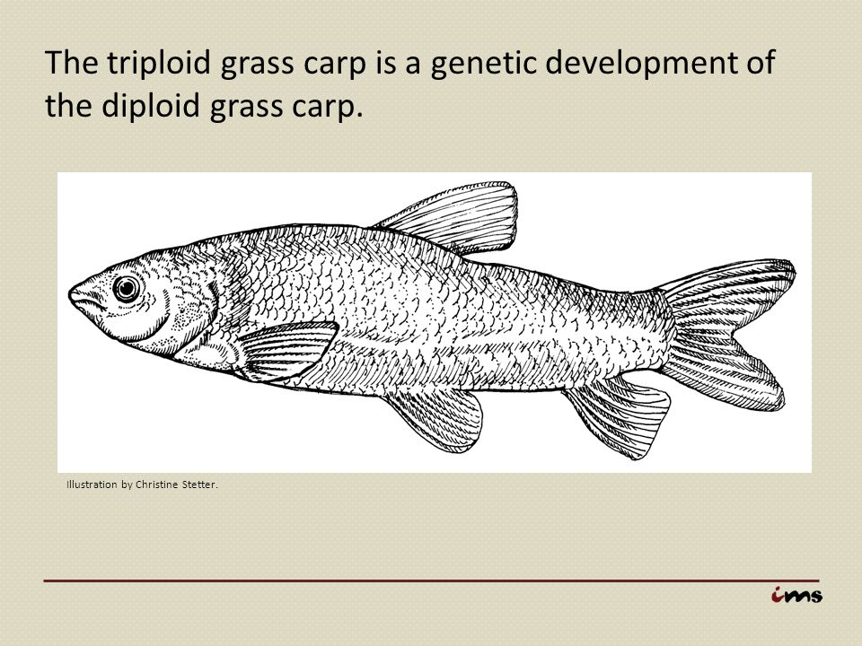 The triploid grass carp is a genetic development of the diploid grass carp.