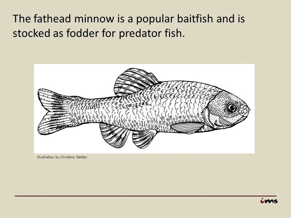 The fathead minnow is a popular baitfish and is stocked as fodder for predator fish.