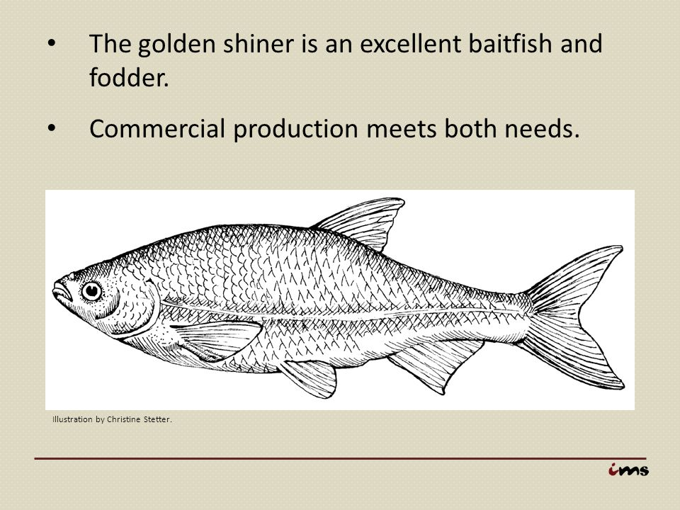 The golden shiner is an excellent baitfish and fodder.