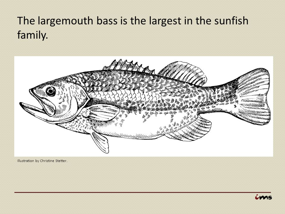 The largemouth bass is the largest in the sunfish family.