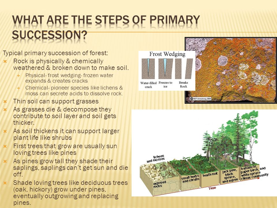 What are the steps of primary succession