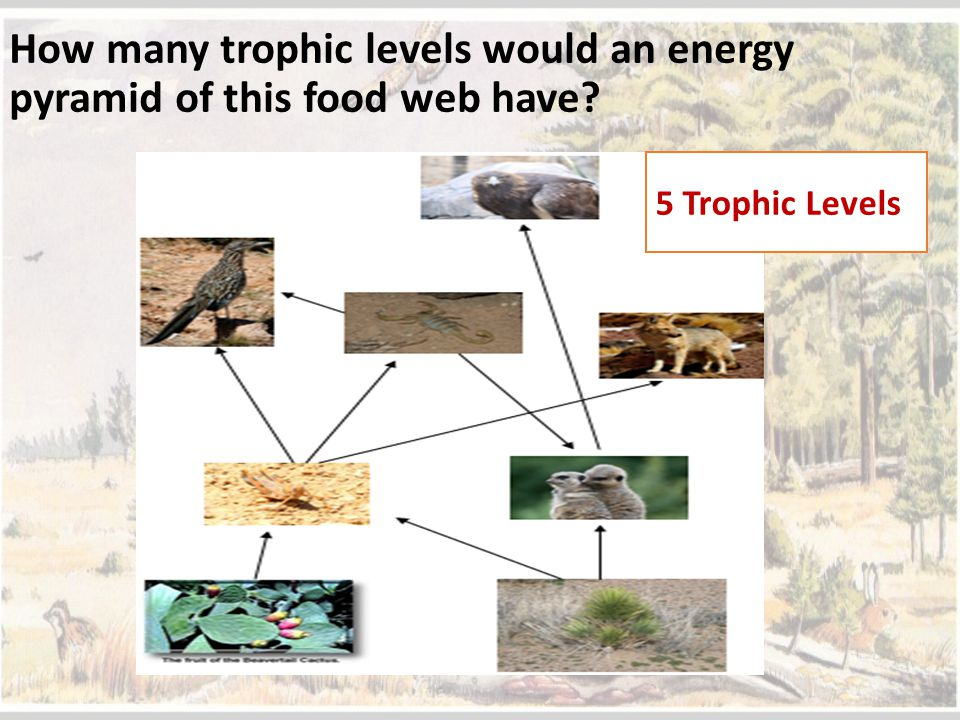 How many trophic levels would an energy pyramid of this food web have