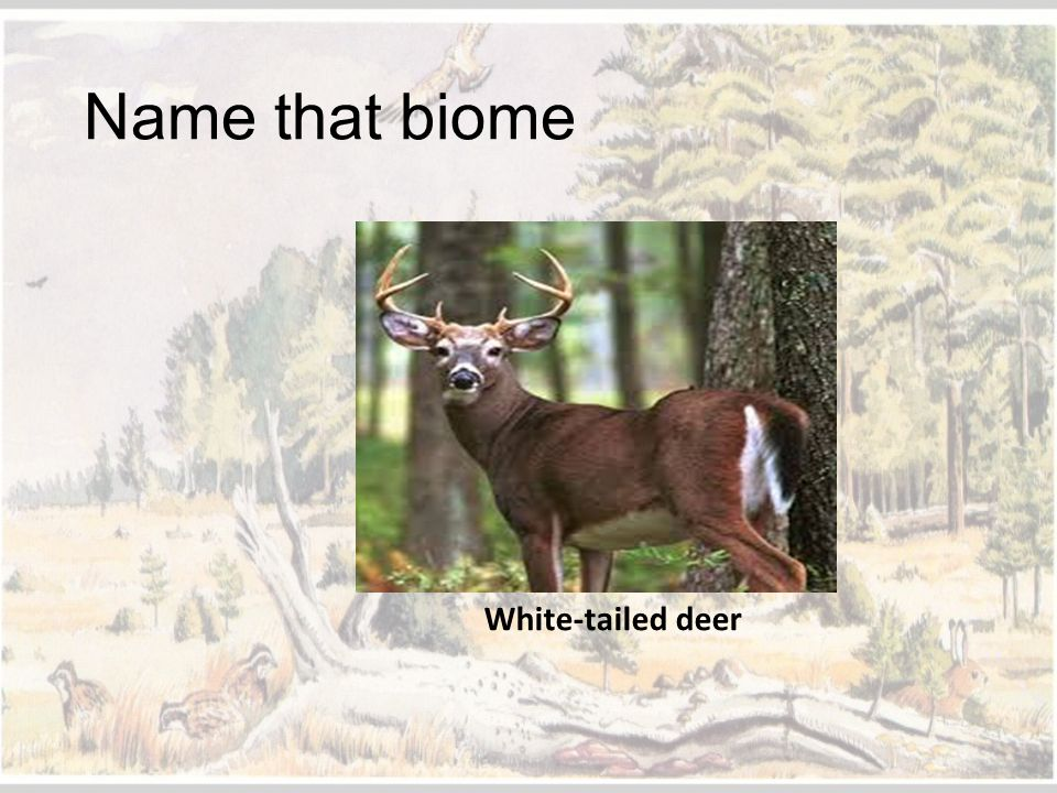 Name that biome White-tailed deer