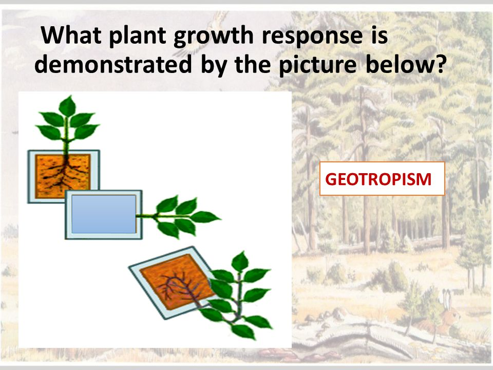 What plant growth response is demonstrated by the picture below