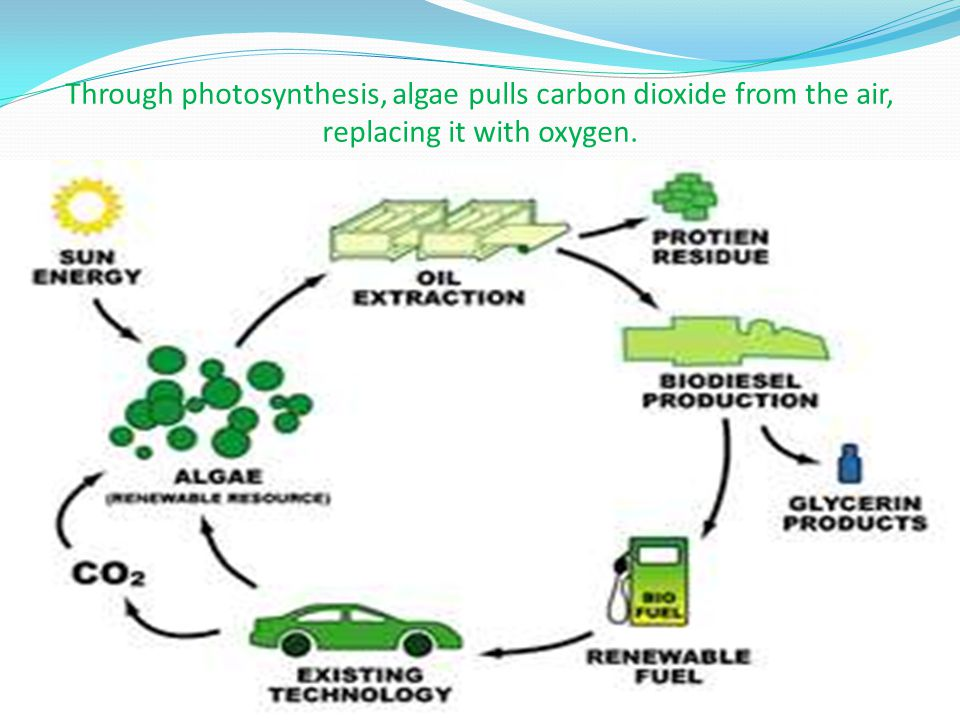Through photosynthesis, algae pulls carbon dioxide from the air, replacing it with oxygen.