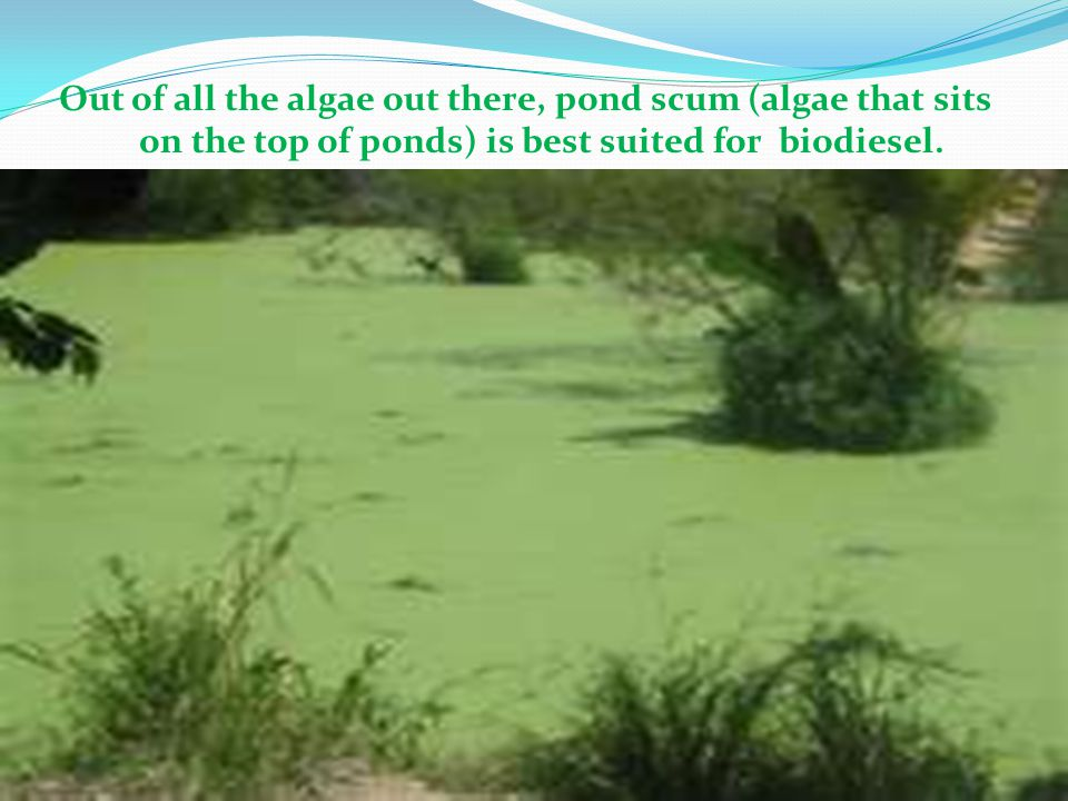 Out of all the algae out there, pond scum (algae that sits on the top of ponds) is best suited for biodiesel.
